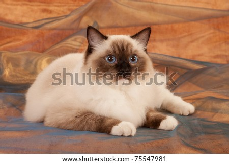 Seal point Ragdoll on bronze brown background - stock photo