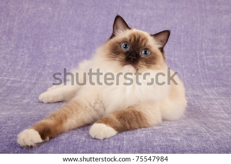 Seal point Ragdoll on lilac purple background - stock photo