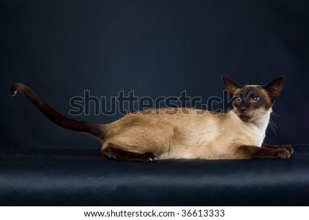 Seal point Siamese on black background - stock photo