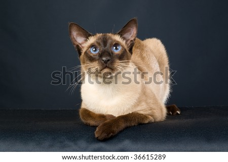 Seal point Siamese on black background - stock photo