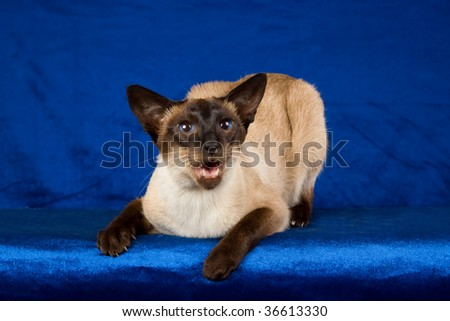 Seal point Siamese on blue background - stock photo