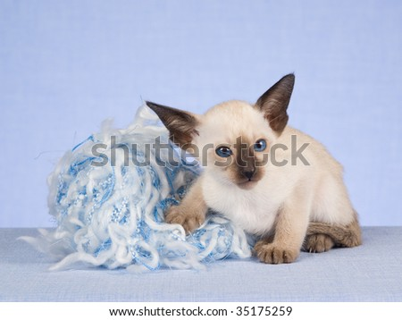 Seal point Siamese with ball of yarn - stock photo