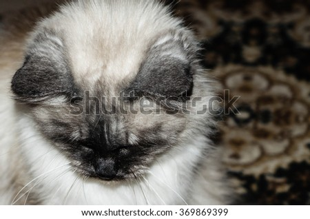 Seal Rag-doll Cat Color-Point looking down - stock photo