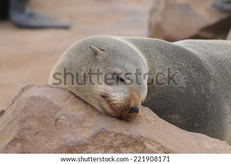 Seal resting on the beach in Skeleton Coast, Namibia, Africa. - stock photo