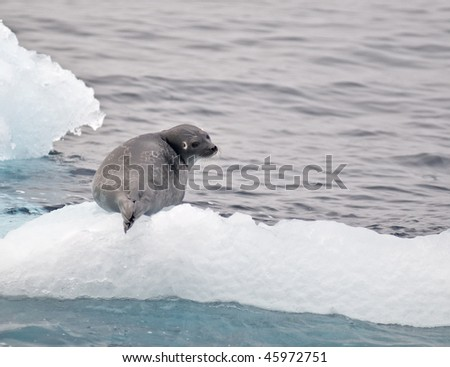 Seal resting on the ice - stock photo