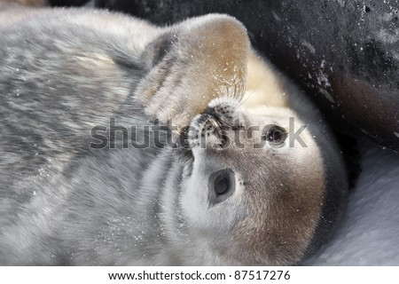 Seal rests on the snowy slopes of the Antarctic - stock photo