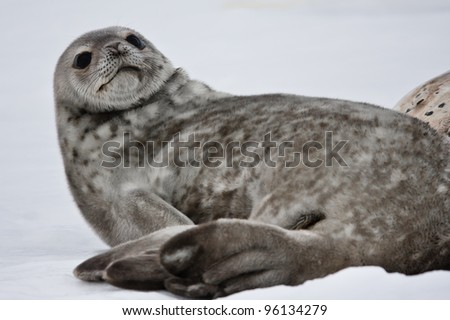 Seal rests on the snowy slopes of the Antarctic