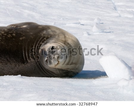 seal roll on ice - stock photo