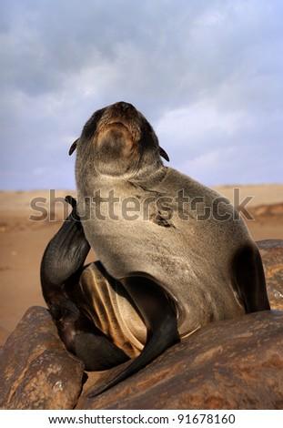 seal scratching itself (Arctocephalus pusillus) - stock photo
