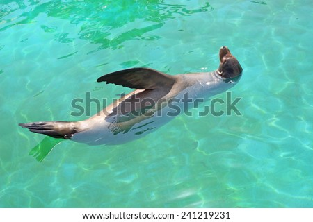 seal, sea lion swims in turquoise water - stock photo