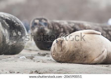 Seal sleeping on the beach - stock photo
