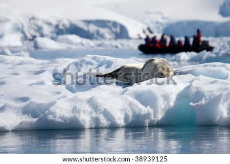 seal sleeping uninterested in tourists - stock photo