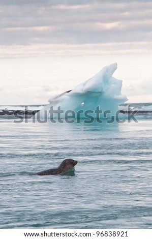 seal swimming in glacier lake, Iceland in summer - stock photo