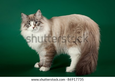 Seal tabby point with white siberian cat on dark green background