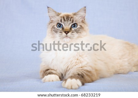 Sealpoint mitted lynx Ragdoll cat on blue background - stock photo