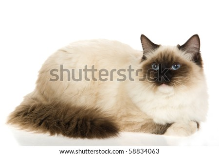 Sealpoint mitted Ragdoll cat on white background - stock photo