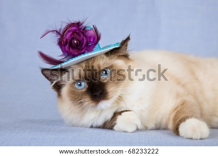Sealpoint mitted Ragdoll cat with hat on blue background - stock photo
