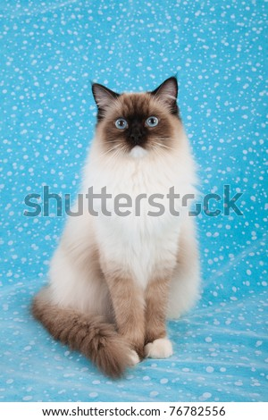 Sealpoint Mitted Ragdoll on blue background - stock photo