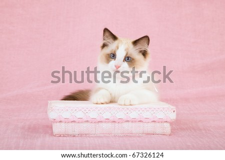 Sealpoint Ragdoll Bicolor kitten on pink background - stock photo