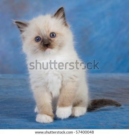 Sealpoint Ragdoll kitten on blue background - stock photo
