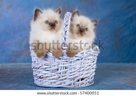 Sealpoint Ragdoll kittens in basket on blue background - stock photo