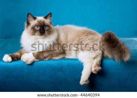 Sealpoint Ragdoll on blue background fabric - stock photo