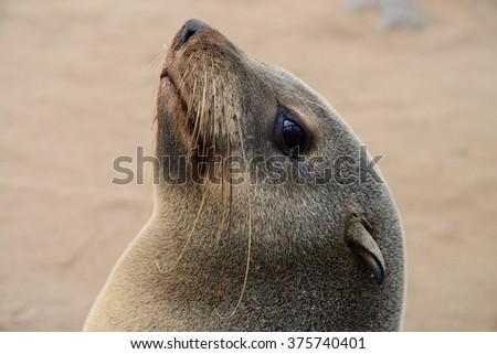 Seals, Cape Cross, Namibia - stock photo