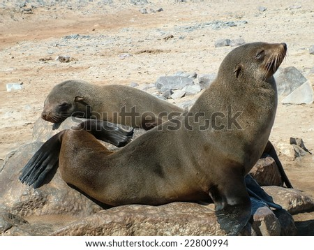 Seals in Cape Cross Nationalpark in Namibia