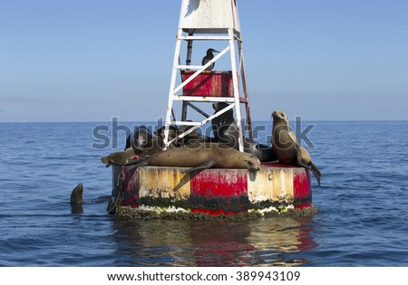 Seals lazing in the sun on red and white buoy, Baja, Mexico  - stock photo