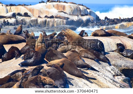 Seals on Seal Island in South Africa - stock photo
