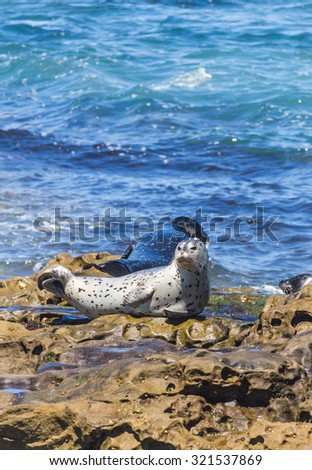 Seals on the rock at La Jolla Cove in San Diego, California, The United States of America - stock photo