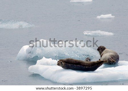 Seals resting on iceberg in Prince William Sound, Alaska - stock photo