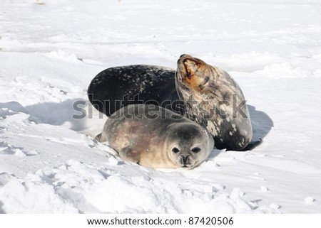 Seals rests on the snowy slopes of the Antarctic - stock photo
