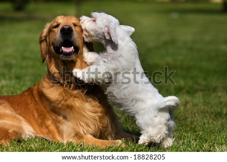 Sealyham Terrier and golden retriever - stock photo