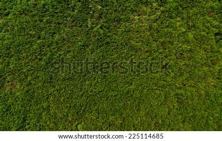 Seamless Cedar Hedge - stock photo