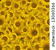 Seamless color Sunflower wallpaper background - stock photo