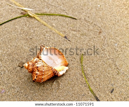 seashell from the Mediterranean and Black Sea lays on coast sand - stock photo