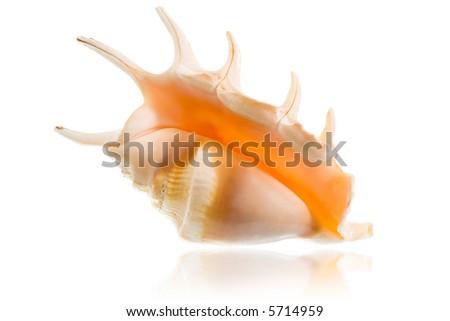 Seashell isolated on white - stock photo