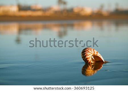 seashell nautilus on Agadir beach under sunset sun - stock photo