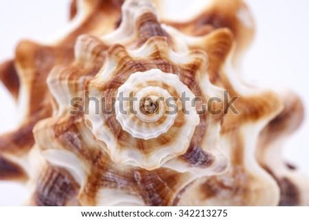 Seashell of horse conch on white background , macro. - stock photo