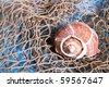 Seashell on fishing net indoor shot - stock photo