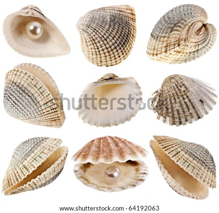 seashells coquina  close up macro detail collection isolated on white background  - stock photo