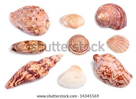 seashells on white background with light shadows - stock photo