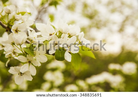 season background of white Flowers of the cherry or apple trees blossoms on a spring day - stock photo
