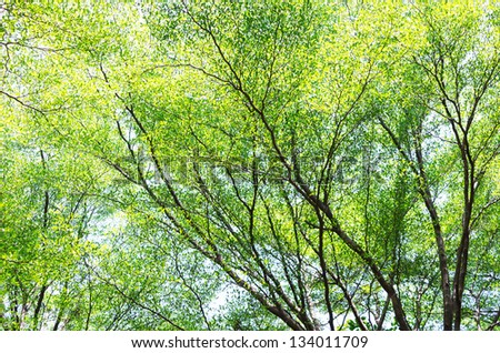 Season tree with green leaves. For the background. - stock photo
