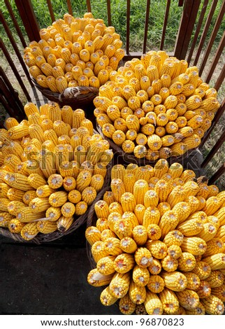 Seasonal specific  photo of harvested corn in wicker  baskets - stock photo
