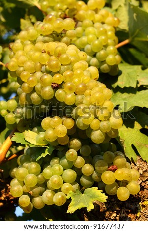 Seasoned grapes in the vineyard - stock photo