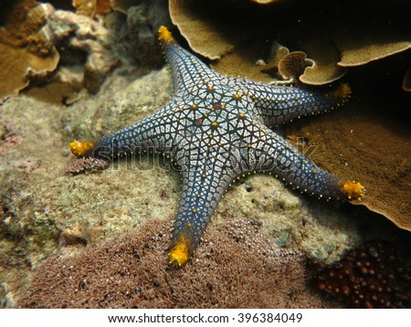 seastarceramic seastaryellow spotted seastarpentacerastar gracilisbeautiful color seastar at