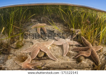 Seastars (Asterias sp. ) crawl across the shallow bottom of a Cape Cod bay in Massachusetts searching for food. These animals prey on mussels, oysters, quahogs, or scavenge dead marine organisms. - stock photo