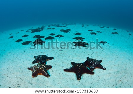 Seastars litter the sandy seafloor near Cocos Island, Costa Rica.  Cocos is known for its large shark and fish populations. - stock photo